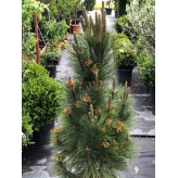 Borovica čierna ´Štíhla´, 130-140cm,  kvetináč 30l