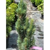 Borovica lesná ´Watereri Fastigiata´,  Pinus sylvestris ´Watereri Fastigiata´,  črepník 9l