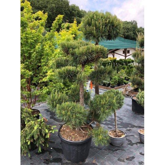 Borovica lesná, Pinus Sylvestris, kont.50l, Bonsai
