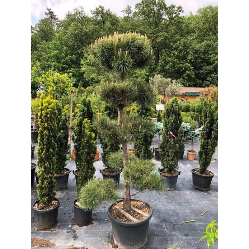 Borovica lesná, Pinus Sylvestris, kont.65l, Bonsai