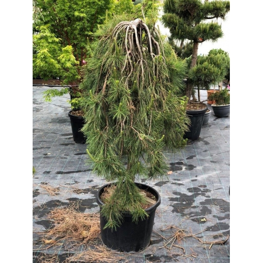 Pinus Jotosho ´Pendula´, kvetináč: 45l, NA KMIENKU