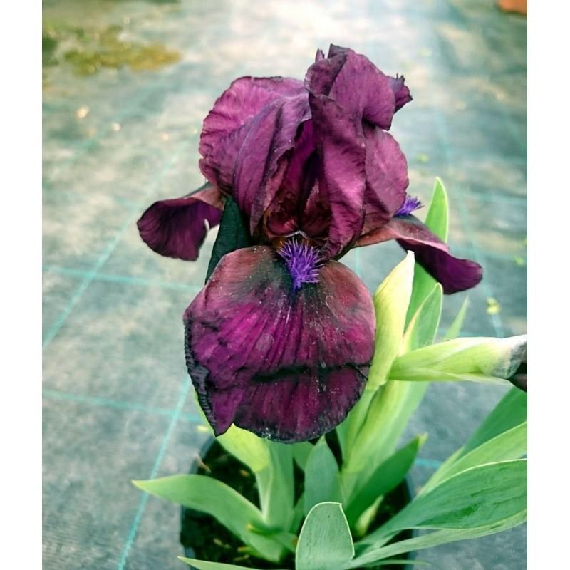 Iris sibírsky Black Knight, 20-30cm
