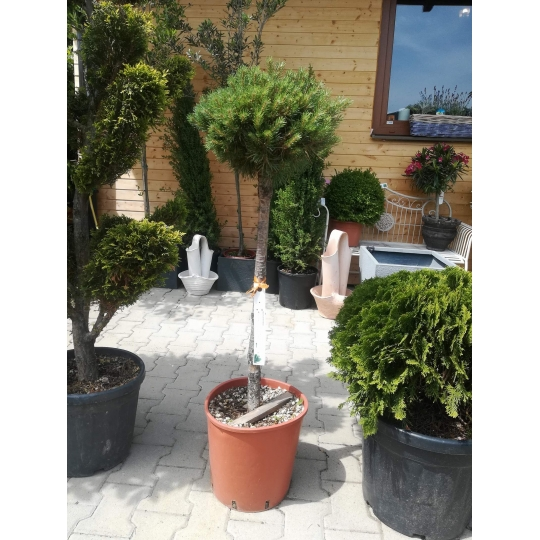 Borovica lesná ´Watereri´, Pinus sylvestris ´Watereri´ (´Nana´), črepník 18l, NA KMIENKU