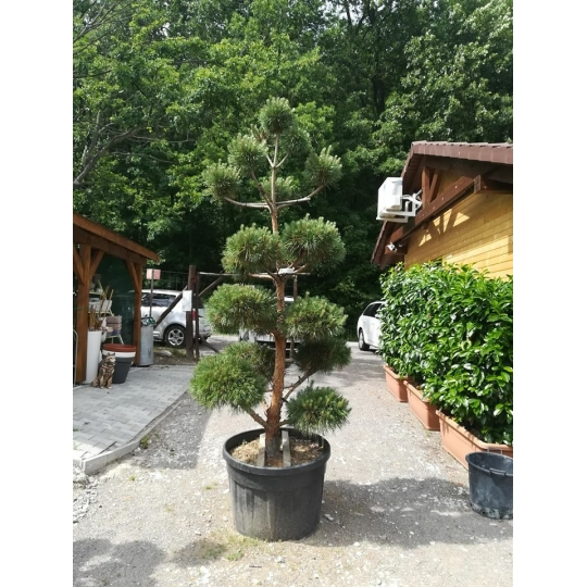Borovica lesná, Pinus Sylvestris, kont.150l