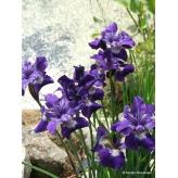 Iris sibírsky Shirley Pope, 30 - 40cm