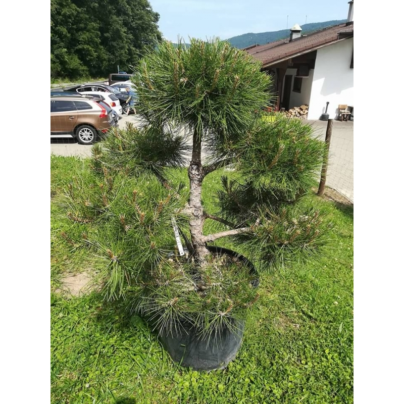 Veľký Pinus