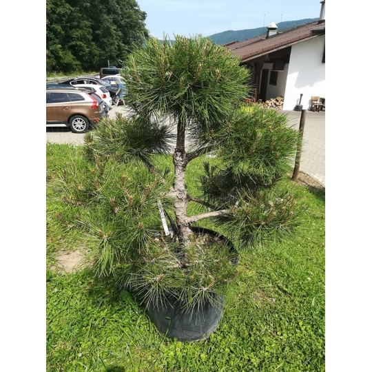 Borovica čierna , Pinus nigra  POM-PON, kont.40l