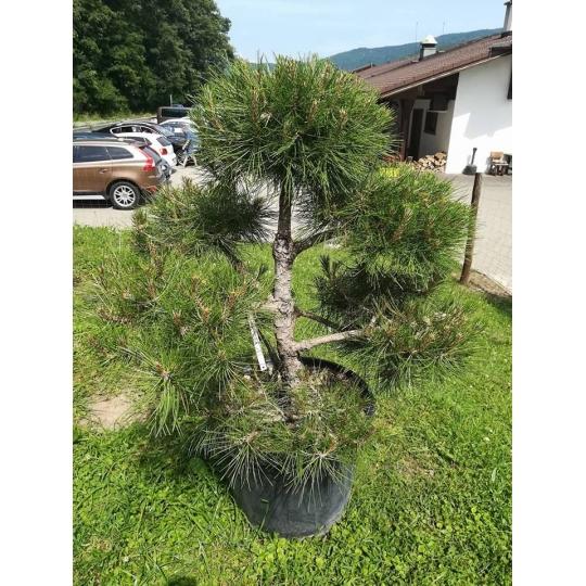 Borovica čierna , Pinus nigra  PON-PON, kont.40l