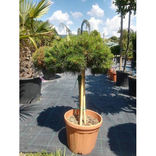 Borovica hustokvetá ´Low Glow´, Pinus densiflora ´Low Glow´, črepník 18l, NA KMIENKU