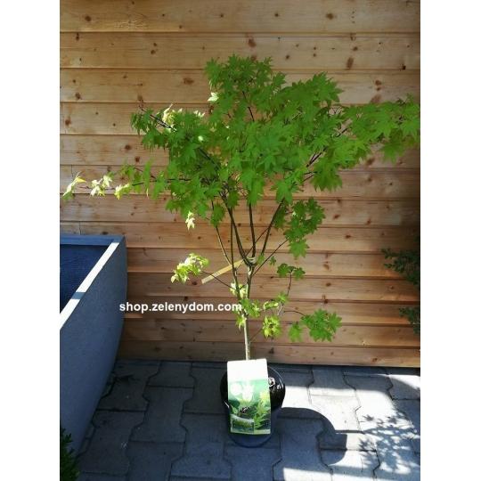 Javor dlaňolistý´Summer Gold´, Acer palmatum ´Summer Gold´,kont.7l
