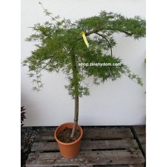 Javor dlaňolistý´Emerald Lace´, Acer palmatum ´Emerald Lace´,kont.10l