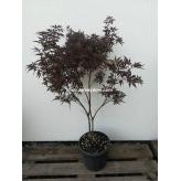 Japonský javor Aurea, Acer palmatum ´Aurea´,kont.10l