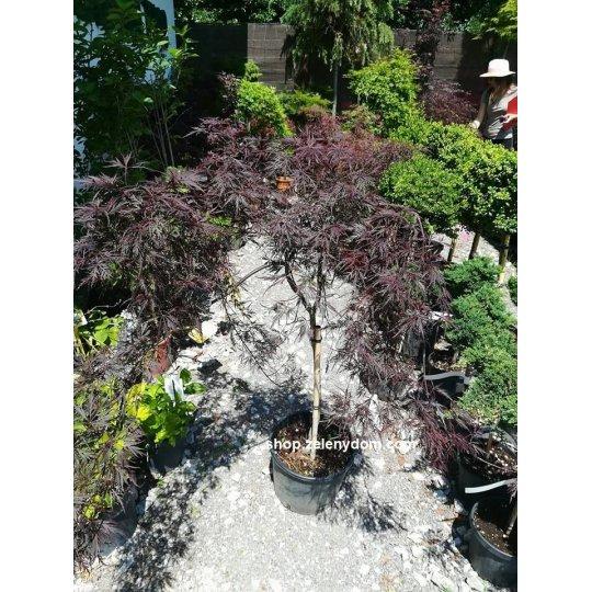 Japonský javor ´Nigrum´ – Acer Pal. Dissectum ´Nigrum´, kvetináč 15l