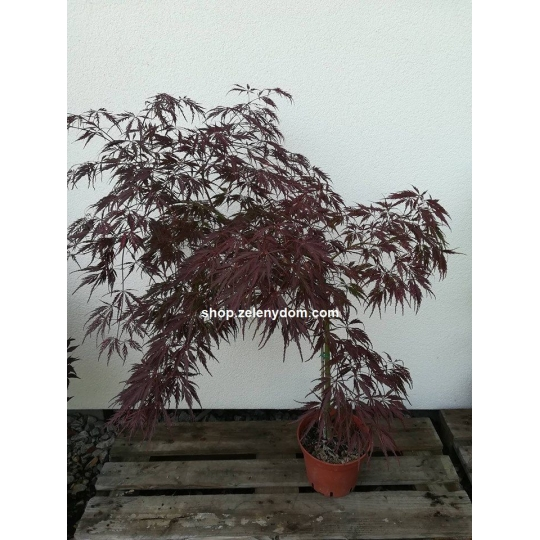 Javor dlaňolistý´Inaba Shidare´, Acer palmatum ´Inaba Shidare´, kont.5l