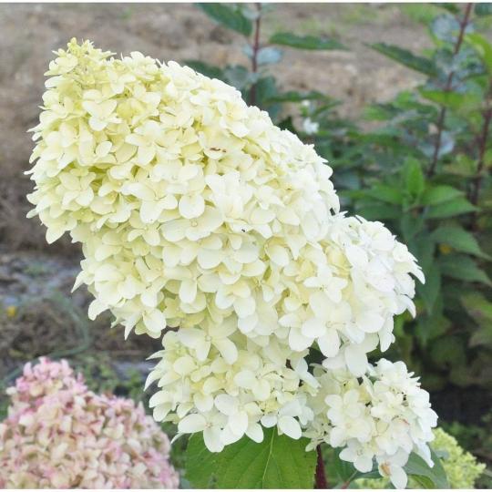 Hortenzia metlinatá ´Diamantino´ Hydrangea paniculata ´Diamantino´, kont.3l
