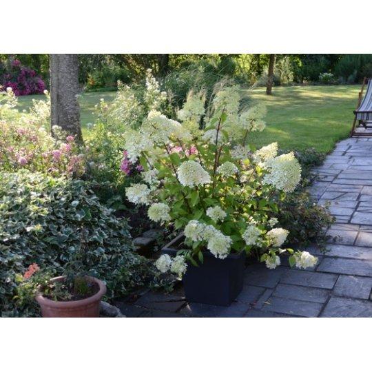Hortenzia metlinatá ´Diamantino´ Hydrangea paniculata ´Diamantino´, kont.10l