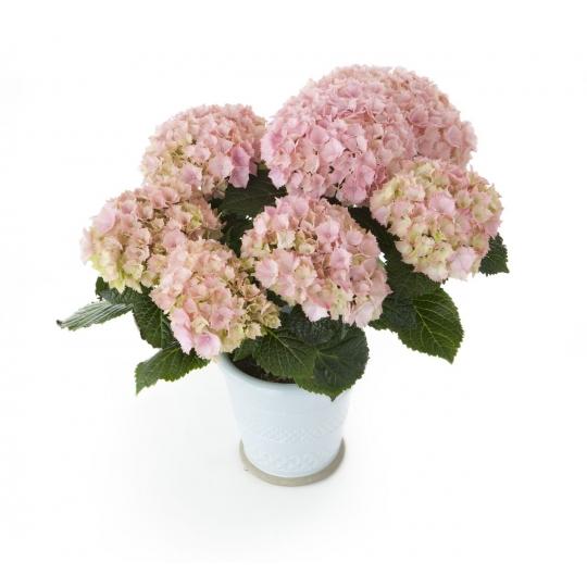 Hortenzia veľkolistá ´Pink Sensation´, Hydrangea macrophylla ´Pink Sensation´, kont.3l