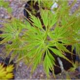 Japonsky javor ´Seiryu´, Acer palmatum ´Seiryu´, kot.: 10l