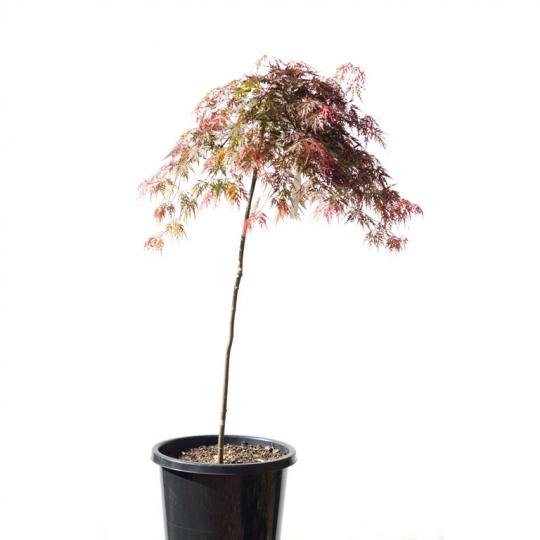 Japonský javor ´Dissectum Atropurpureum´ – Acer palmatum ´Dissectum Atropurpureum´, kvetináč 15l