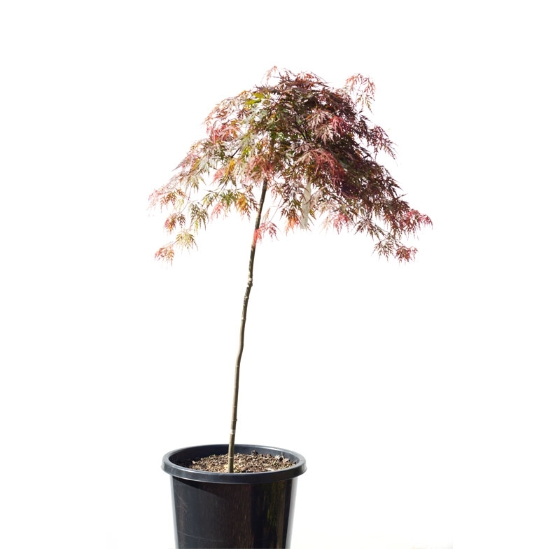Japonský javor, Acer Palmatum ´Dissectum´, NA KMIENKU, kont.: 10l