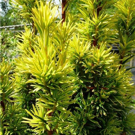 Taxus baccata Fastigiata Aurea , Tis obyčajný,kont.15l,výška 100/120cm