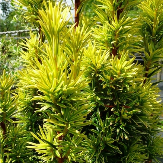 Tis obyčajný, Taxus baccata Fastigiata Aurea , kont.30 l,