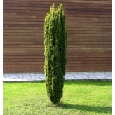 Taxus baccata Fastigiata Aurea, Tis obyčajný kont.20l , výška 120/150cm