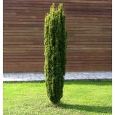 Tis obyčajný, Taxus baccata Fastigiata Aurea, kont. 40l
