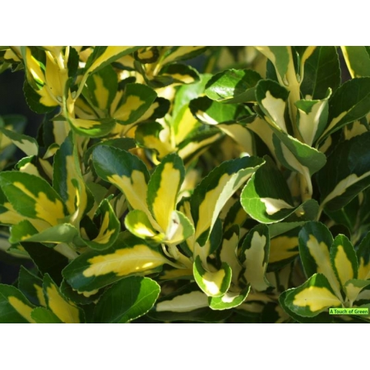 Bršlen japonský, Euonymus japonicus, črepník 9l