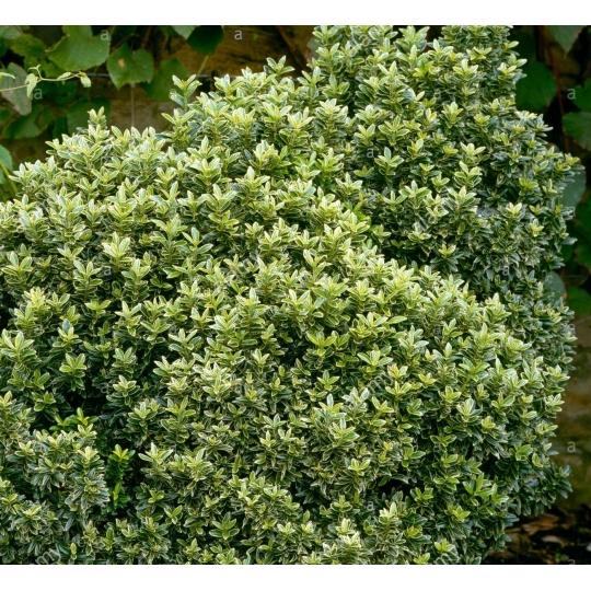 Bršlen japonský drobnolistý ´Susan´, Euonymus japonicus Pulchellus´Susan´,kont.3l