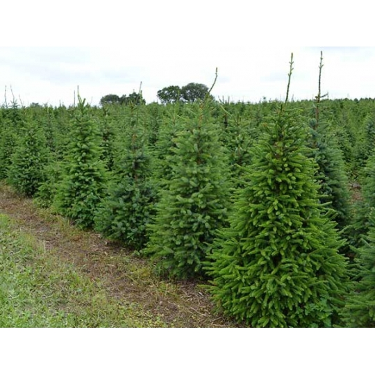 Smrek omorikový, Picea omorika,kont. 3L, 50-70cm