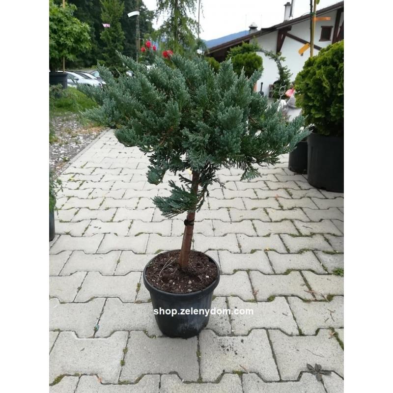 Borievka rozprestretá ´Blue Chips´, Juniperus horizontalis ´ Blue Chips ´, kont.10l