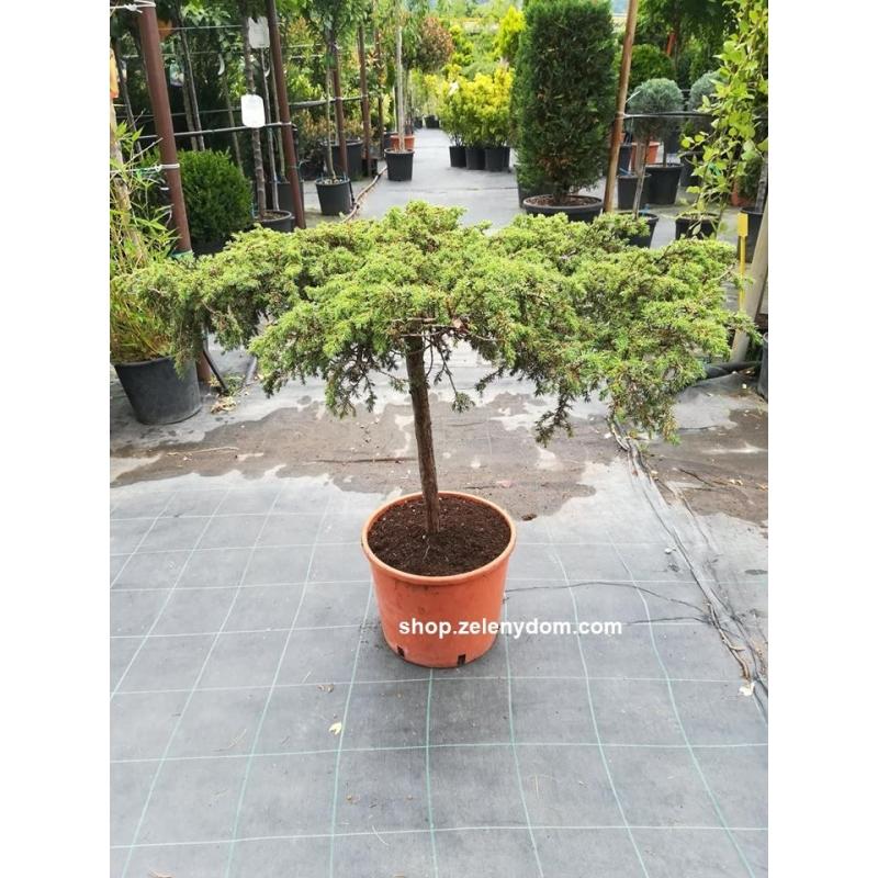 Borievka obyčajná´Green Carpet´, Juniperus communis´Green Carpet´,kont.10l