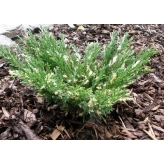 Borievka rozprestretá, Juniperus horizontalis ´Andorra Compacta´, kont.2l