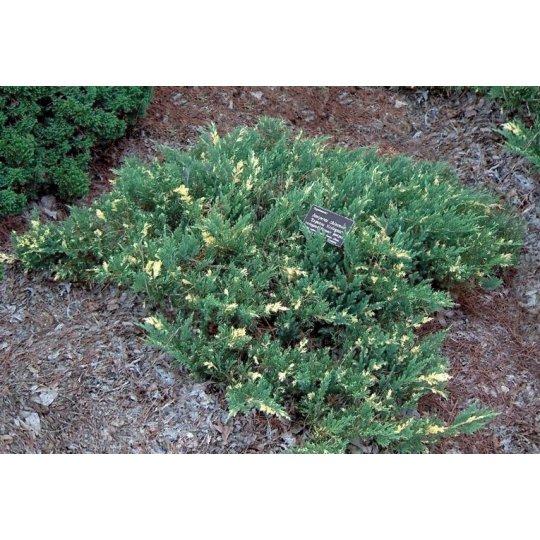 Borievka davurica ´Expansa Variegata´,Juniperus davurica ´Expansa Variegata ´,kont.2l