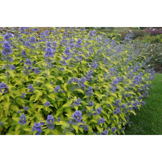 Bradavec blanokrídly ´Good as Gold´, Caryopteris clandonensis´Good as Gold´,kont.1l