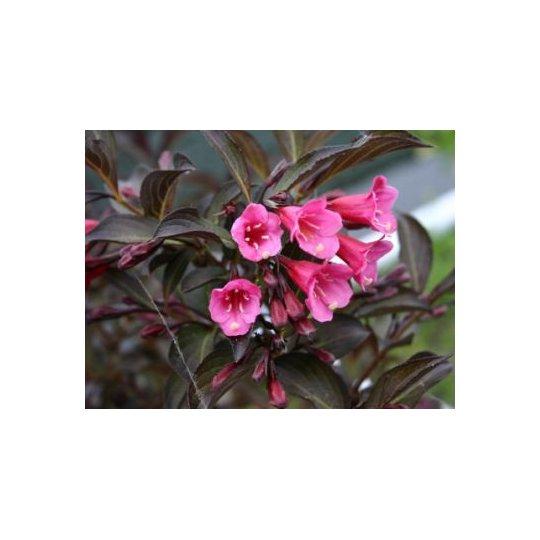 Vajgela kvetnatá VICTORIA, 20-30cm, 1l