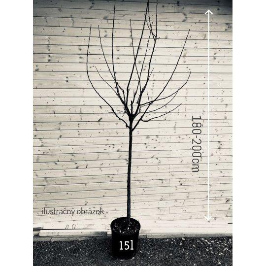 Broskyňa CARDINAL, skorá, kvetináč 15l