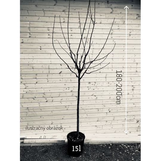 Hruška CONCORDE, stĺpovitá 50cm