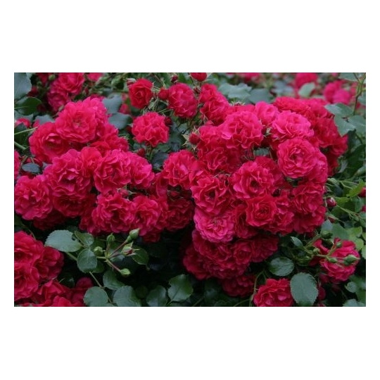 Gärtnerfreude, ruža pôdopokryvná KORDES, kont. 2l