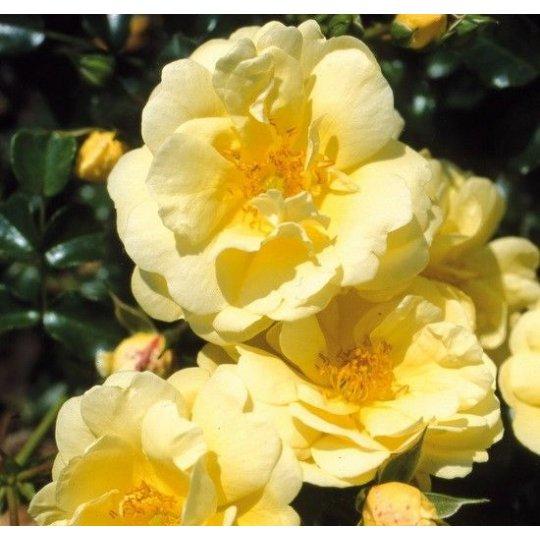SUNNY ROSE, ruža pôdopokryvná KORDES, kont. 2l