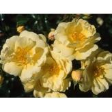 MAXI VITA, ruža mnohokvetá KORDES, kont. 2l