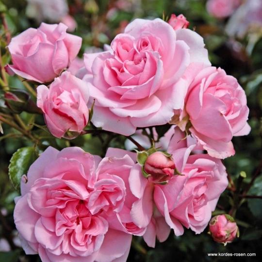 HOME & GARDEN®, ruža mnohokvetá , KORDES, kont. 2l