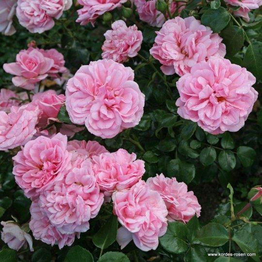Ruža mnohokvetá HOME & GARDEN®, KORDES, kont. 2l