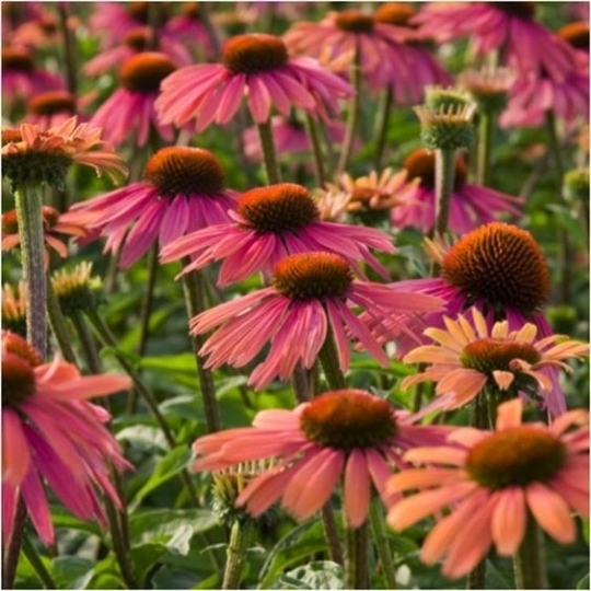 Echinacea ´Summer Cocktail´, kont.1l