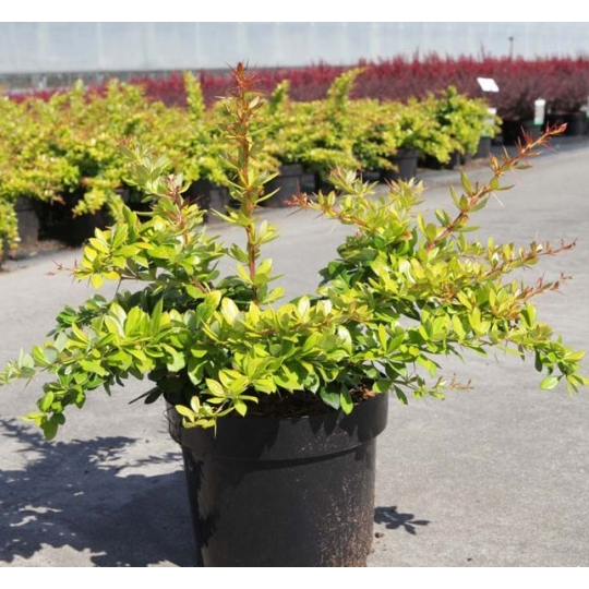 Dráč - Berberis media 'Dual Jewel', 30-40cm, 2l
