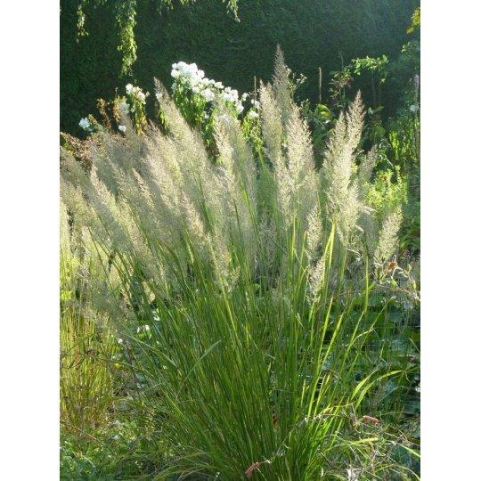 Calamagrostis brachytricha (Smlz), kont. K9