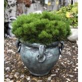 Borovica čierna, Pinus nigra (austriaca), črepník 30l