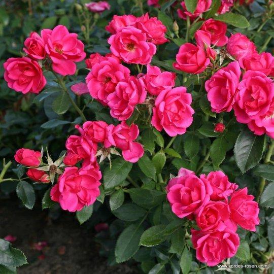 Ruža mnohokvetá Gärtnerfreude ® / Toscana ®