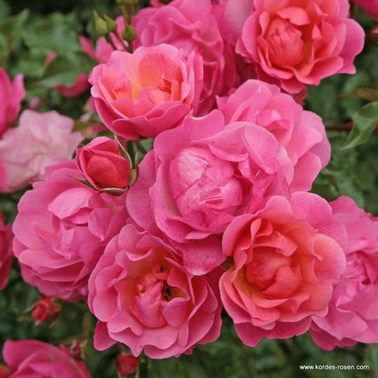Ruža mnohokvetá Maxi Vita ®, Kordes, kont. 2 l
